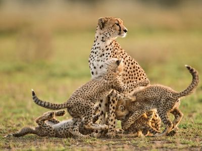 cheetah-mother-cubs-lant